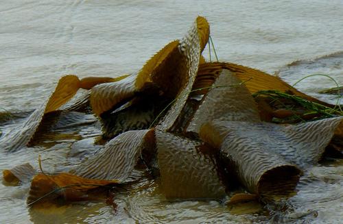 Le alghe diventano biocarburante: dal mare nuove risorse