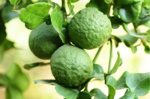 bergamotto-albero