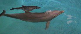 Fiocco rosa a Zoomarine: nato un cucciolo di delfino